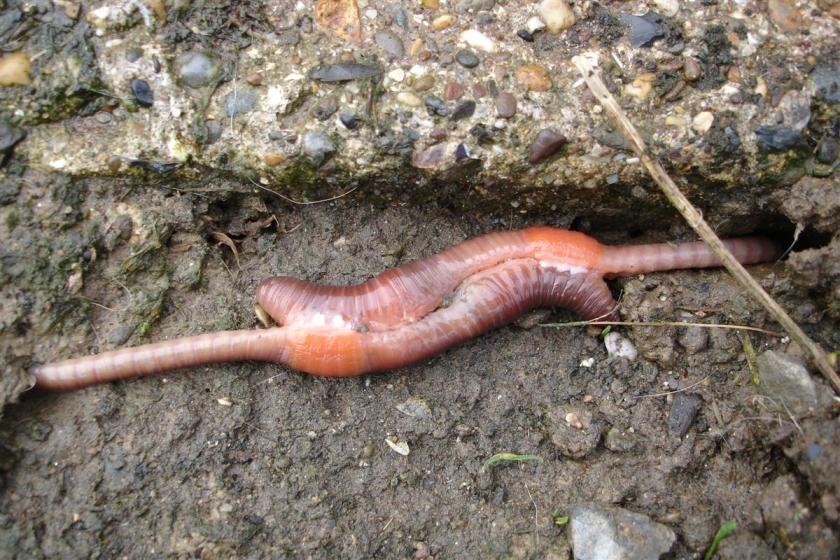 Mating_earthworms